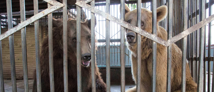 Help International Animal Rescue free bears from captivity