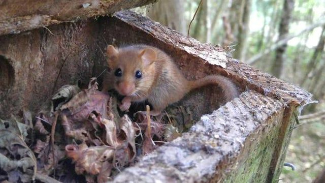 The Stepping Stones project will help wildlife such as dormice