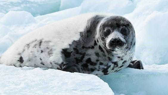 Sign petition to end the Atlantic commercial seal hunt