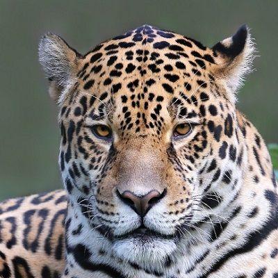 Adopt a Jaguar as a gift