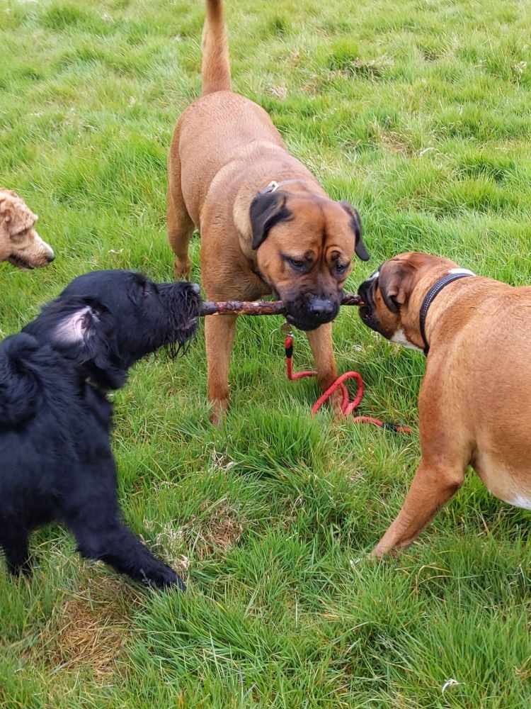 dogs sharing stick