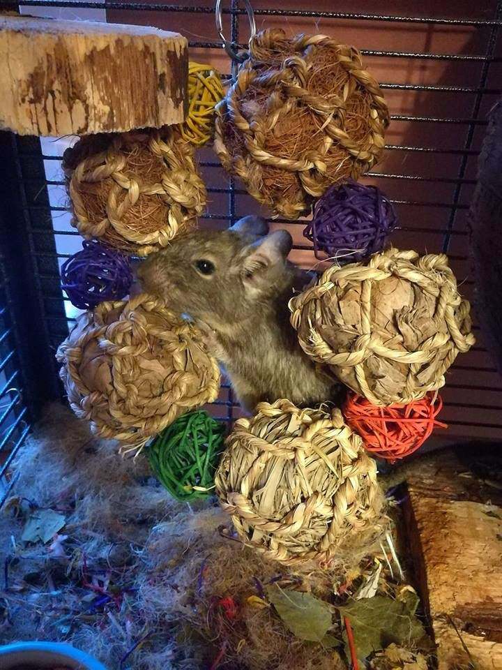 Degu - Ball Wreath