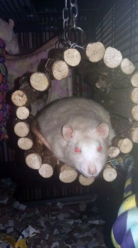 Rat - Hanging Tunnel