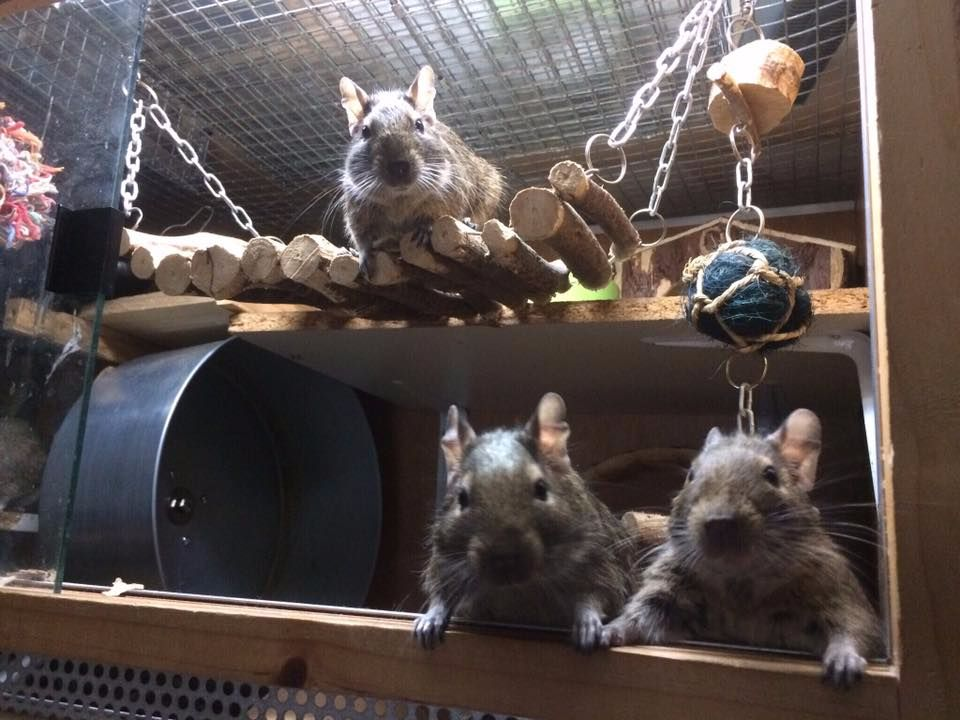 Degu - Hanging Shelf