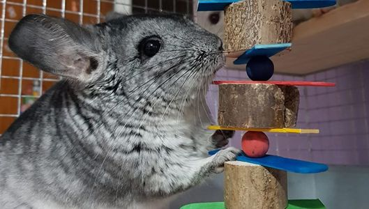 chinchilla with toys