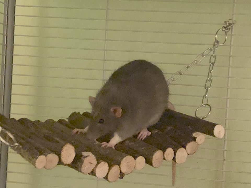 rat ladder