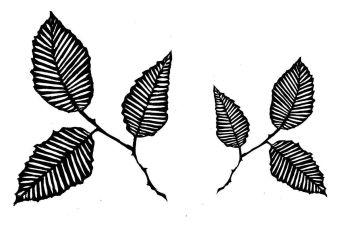 "Beech Leaf pair: 4"" & 3"""