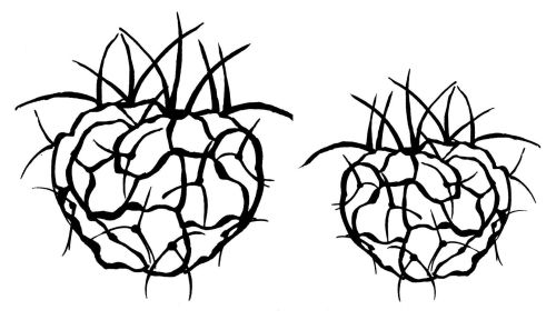 Heart Cactus: left and right facing - pair 4