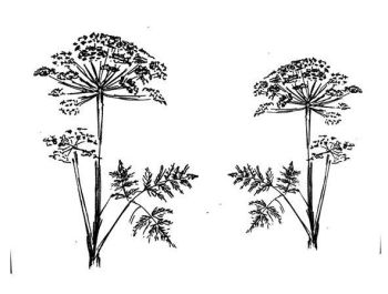 """Cow Parsley pair: 4.5""""and 3.5"""""""