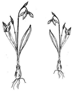 """Snowdrop Pair: 5"""" and 4"""""""