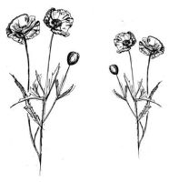 "White Poppy pair: 5"" and 4"""