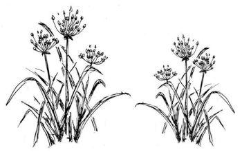 """Flowering Rush pair: 4.5"""" and 3.5"""""""