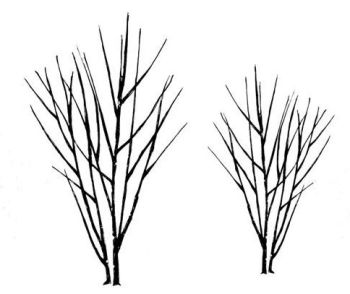 """Birch trees pair: 4.5"""" and 3.5"""""""