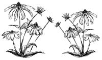 """Coneflower 4.5"""" and 3.5"""""""