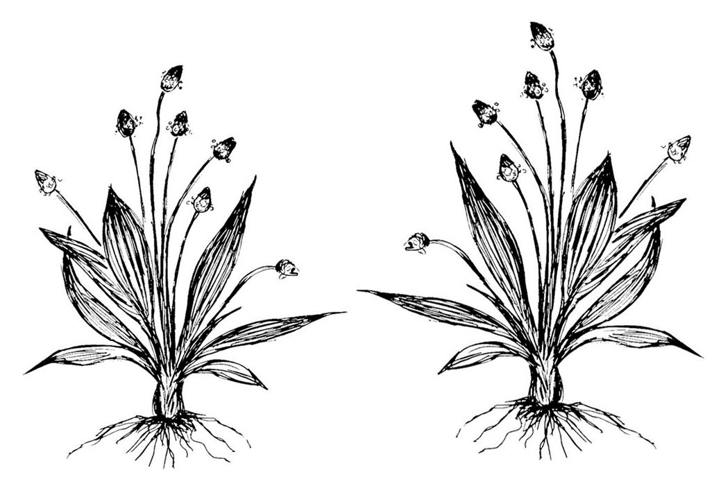 Plantain 4.5