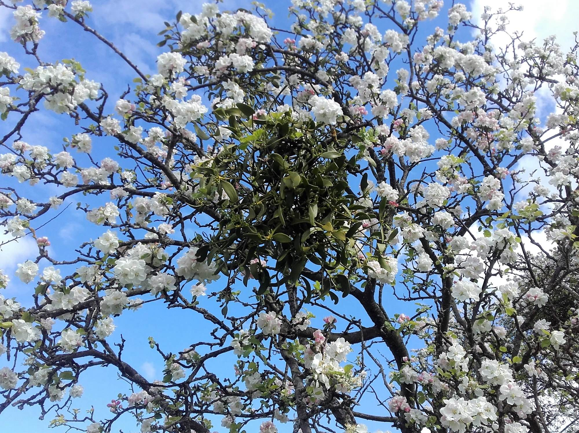 mistletoe in apple blossom