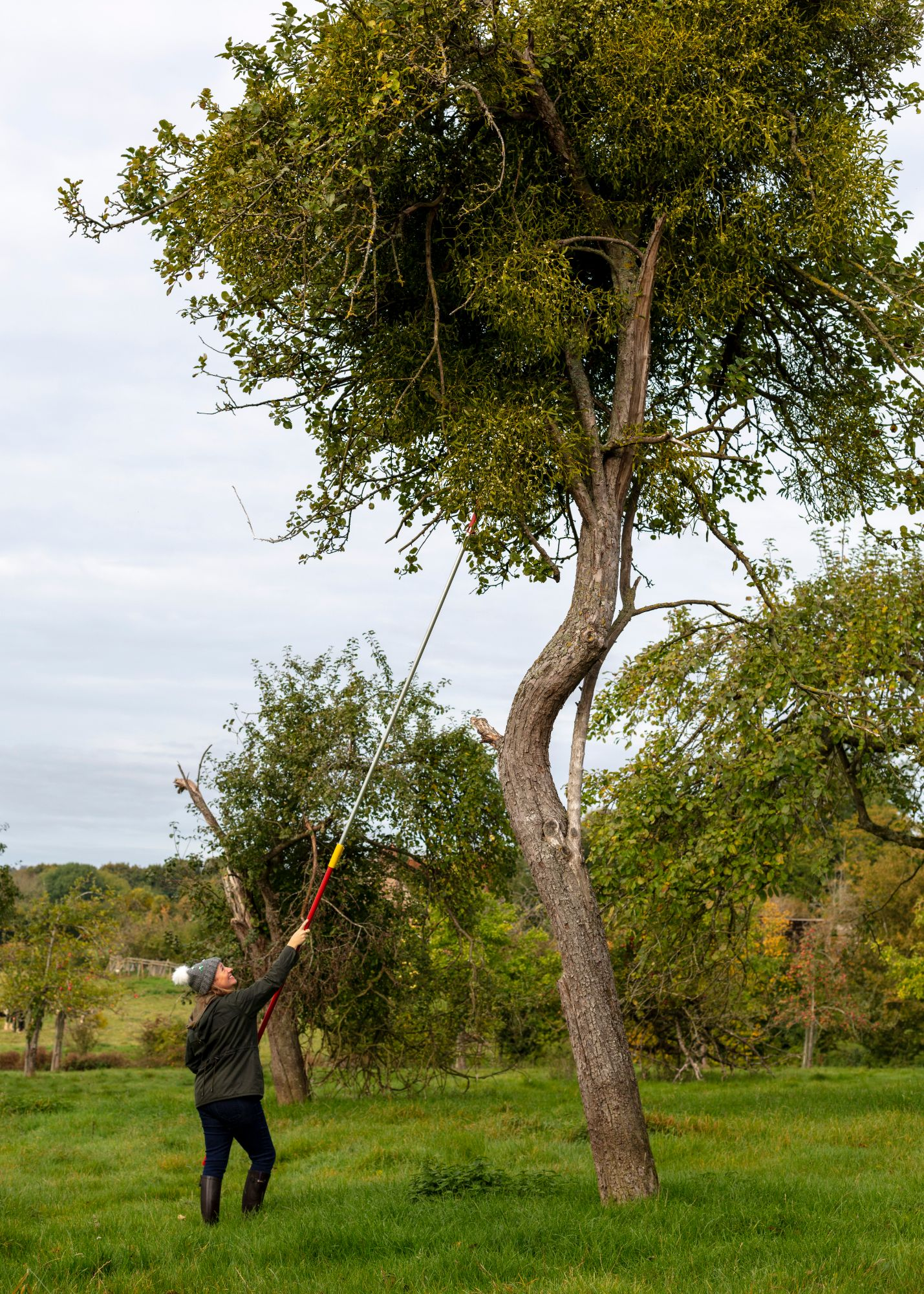 Harvesting mistletoe near Tenbury Wells
