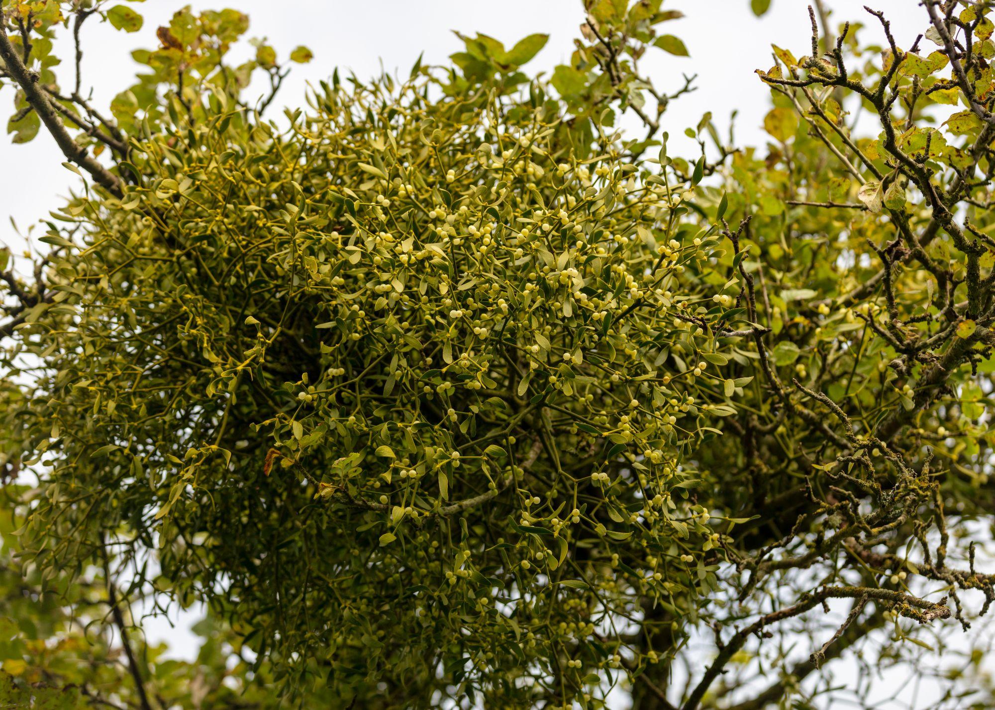 Buy mistletoe direct from our farm