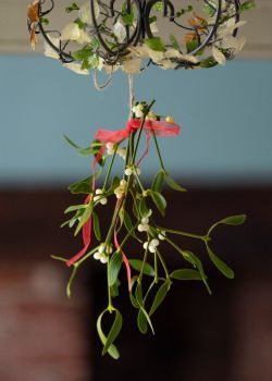 Buy mistletoe direct from our farm