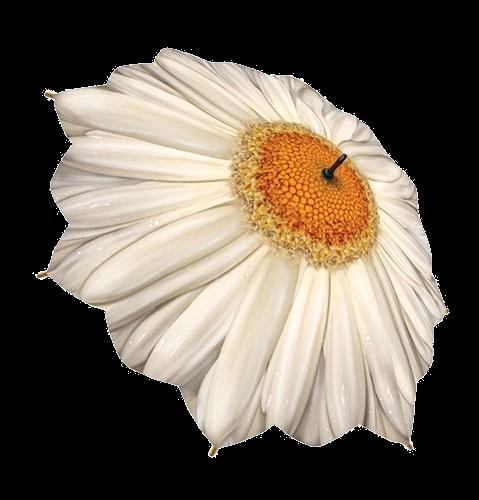 White Daisy Umbrella