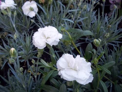 DIANTHUS ARTIC STAR