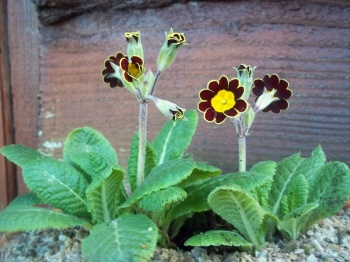 PRIMULA GOLD LANCED BEECHES STRAIN