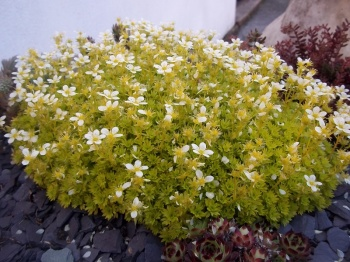 SAXIFRAGA CLOTH OF GOLD