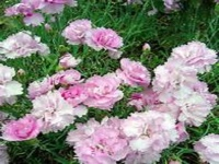 DIANTHUS PIKES PINK