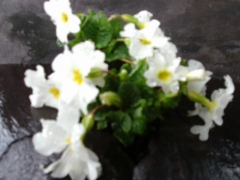 PRIMULA JULIAE WHITE