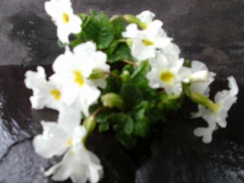 PRIMULA JULIAE WHITE