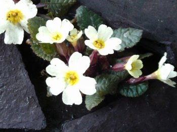 PRIMULA PORT AND LEMON