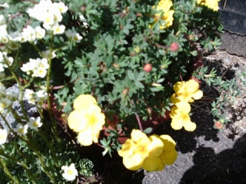 POTENTILLA FRUTICOSA WAGON WHEEL