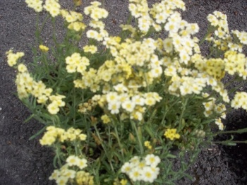 ACHILLEA KING EDWARD
