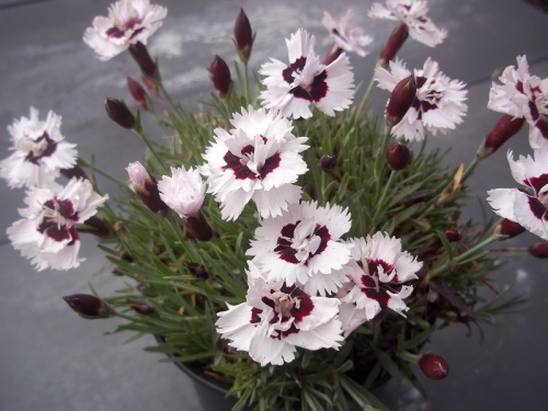 DIANTHUS BRILLIANT STAR