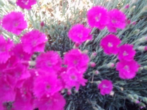 DIANTHUS NEON LIGHTS