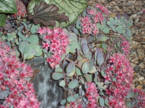 SEDUM PLURICAULE ROSE CARPET