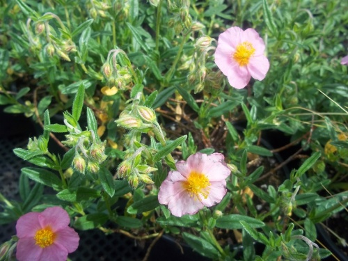HELIANTHEMUM LAWRENCE PINK