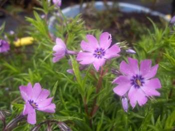 PHLOX SUBULATA TEMISKAMING