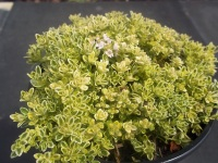 THYMUS SERPYLLUM HIGHLAND CREAM