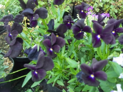 VIOLA ROSCASTLE BLACK