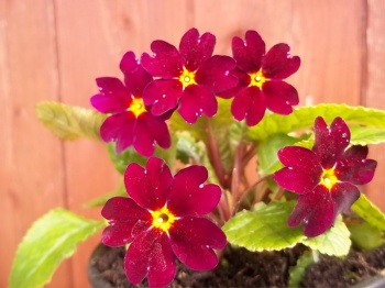 PRIMULA JULIAE OLD PORT