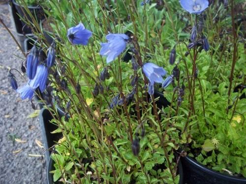 CAMPANULA COCHLEARIFOLIA BLUE
