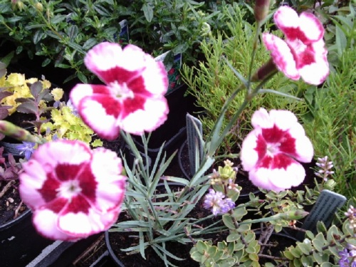 DIANTHUS COVER STORY
