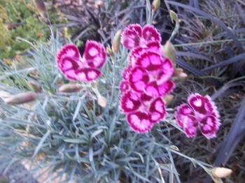DIANTHUS INDIAN STAR