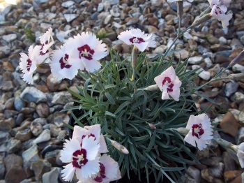 DIANTHUS STARRY EYE