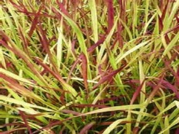 IMPERATA CYLINDRICAL RED BARON