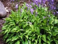 HOSTA LEMON & LIME