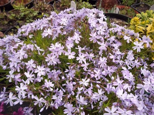 PHLOX SUBULATA EMERALD BLUE CUSHION