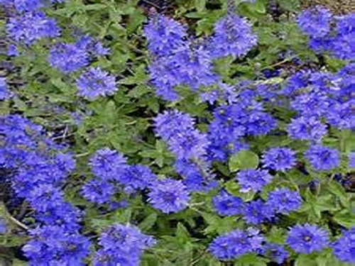 VERONICA PROSTRATA BLUE SHEEN