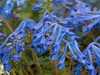 CORYDALIS FLEXUOSA KINGFISHER